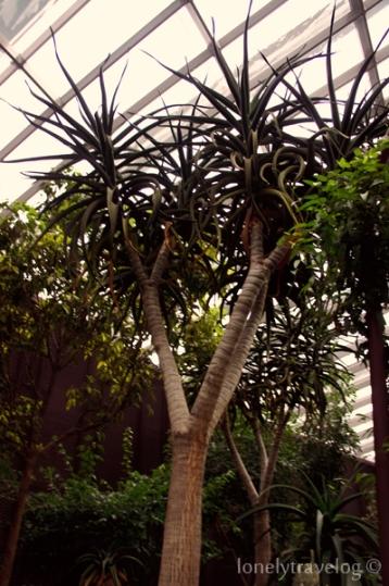 Succulent aloes
