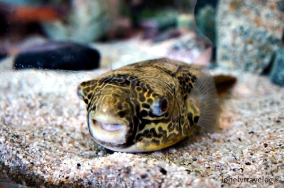 Congo Puffer Fish