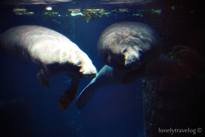 River Safari, Manatees