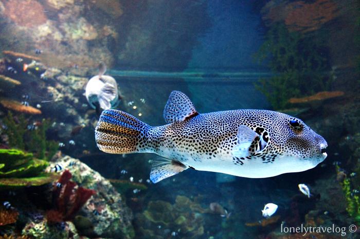 Boxer Fish
