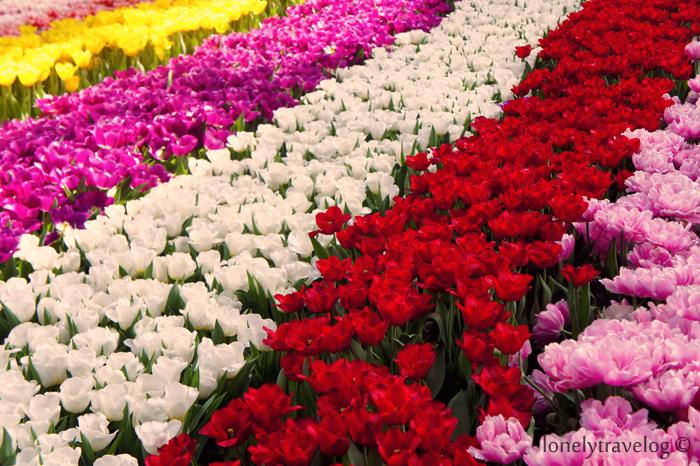 Tulipsmania