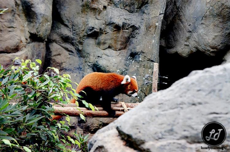 Red Panda - Ocean Park