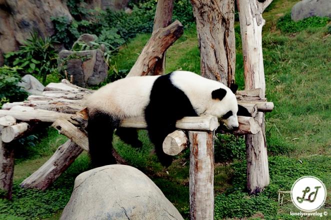 Panda - Ocean Park