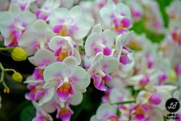 Orchid Extravaganza 2017