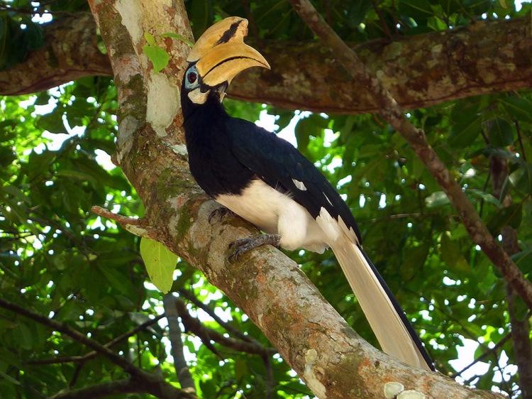 Hornbill 1