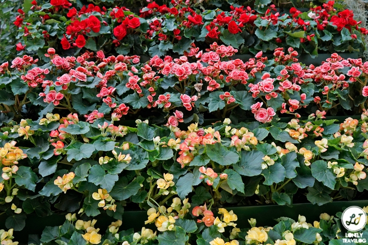 Begonia Brilliance