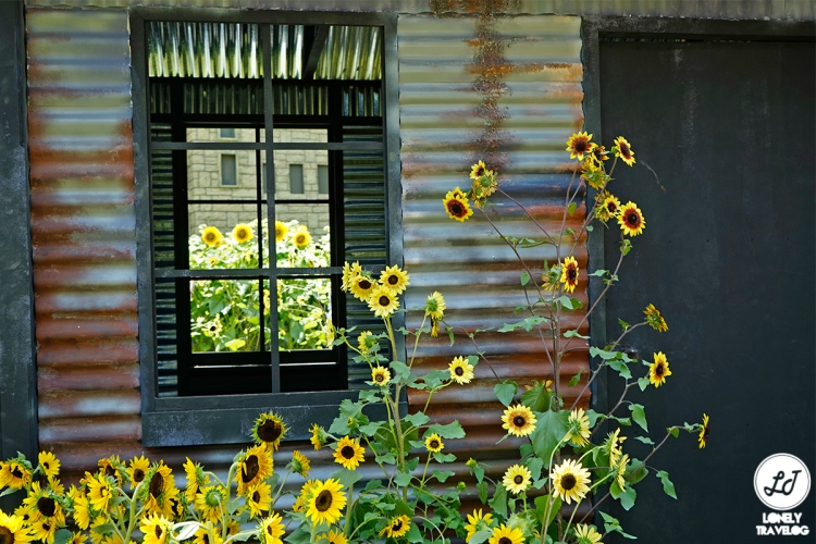 Sunflower Surprise (14)
