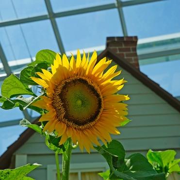Sunflower Surprise (16)