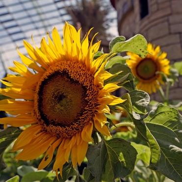 Sunflower Surprise (7)