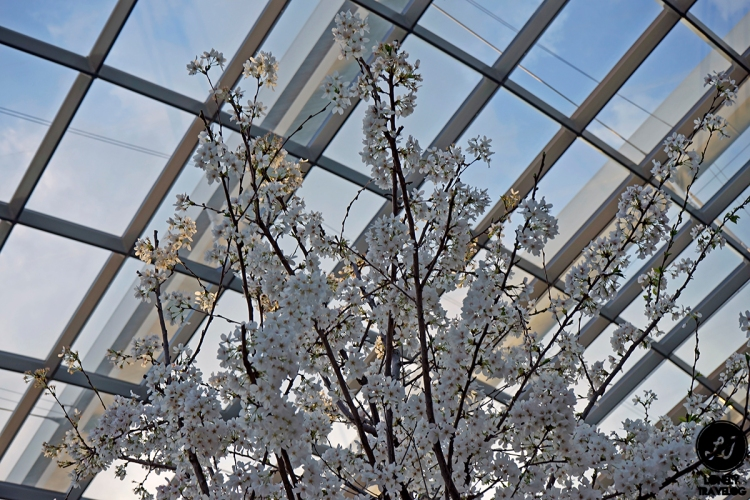 Sakura Matsuri 2019 (5)