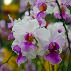 Orchid Extravaganza 2019 (7)
