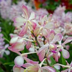 Orchid Extravaganza 2019 (9)