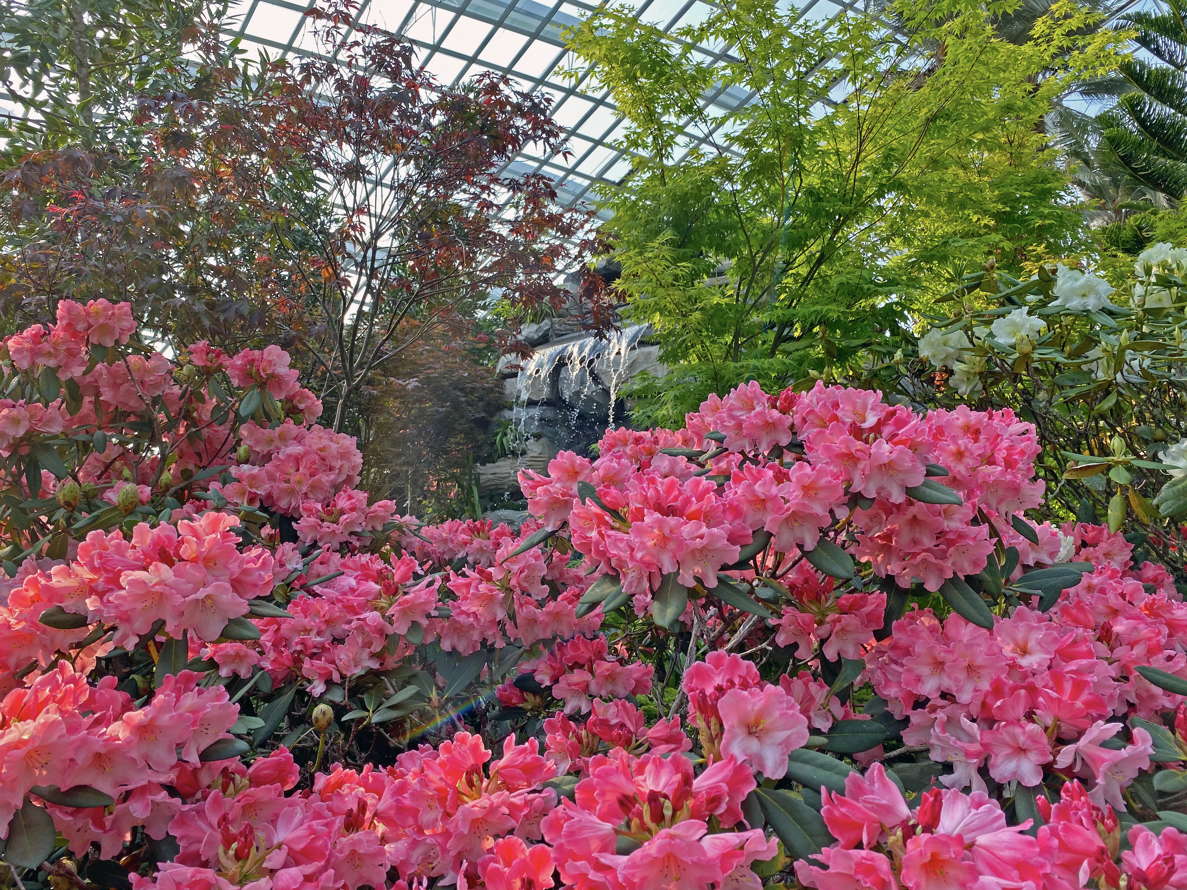 Rhododendron Radiance